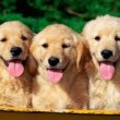 Scegliere un Allevamento Golden Retriever